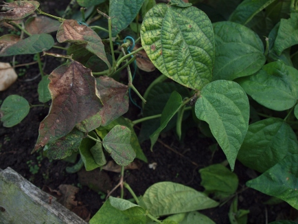 Browning leaves on Dwarf French Beans