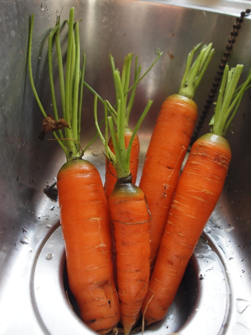 Sweet carrots from the garden